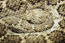 Close Up Of Curled Up Rattlesnake