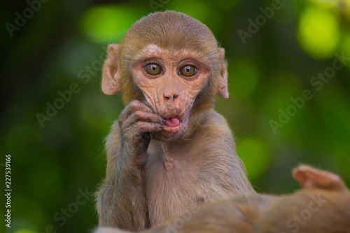 In de dag Rhesus Macaque Monkey sitting and looking away in its natural habitat.