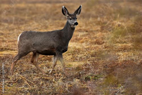Fotobehang Hert Female Mule Deer