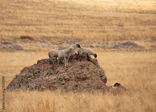 Photo  A few white sheep stand on a boulder looking down at a black sheep in the grass below