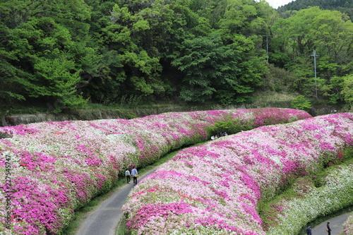 Foto op Canvas Azalea なるかわ園地のツツジ園
