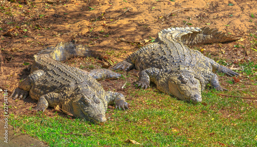 Two African Crocodiles, Crocodylus Niloticus, resting at iSimangaliso Wetland Park, St Lucia Estuary, South Africa, one of the top Safari Tour destinations. Nile Crocodile in Ezemvelo KZN Wildlife.