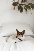 Cute Fox Terrier Dog Inside On Bed