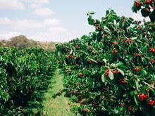 Ripe Cherries On Trees