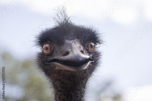 Portrait of a wild emu (Dromaius novaehollandiae). Australia