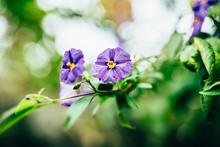 Solandra Blossoms (Solanaceae)
