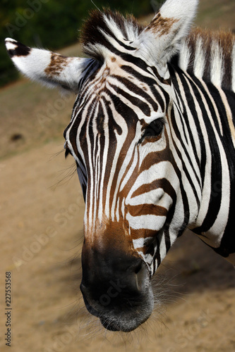 In de dag Zebra Portrait of African striped coat zebra