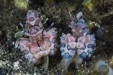 Harlequin Shrimp Couple