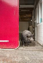 Vietnamese Pig In A City Farm