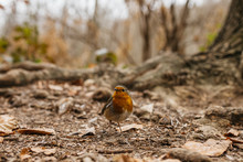 Redbreast Bird On Ground