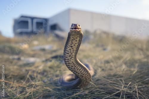Carta da parati Wild eastern brown snake (Pseudonaja textilis) from Melbourne, Australia