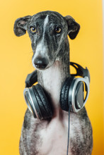 A Greyhound And Music
