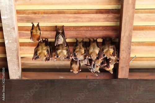 Lesser Dog-Faced Fruit Bat 2