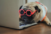 Adorable Pug Dog Using Laptop At Workplace.