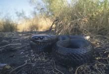 Wild Eastern Indigo Snake (Drymarchon Couperi) In Florida
