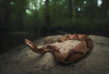 Wild Copperhead Snake (Agkistrodon Contortrix) In Florida Swamp