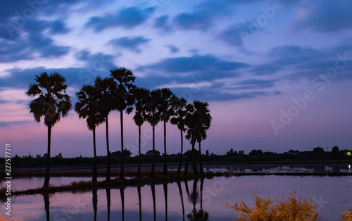 Poster Baobab Palm trees at the ridge rice by beautiful and Sunset light.