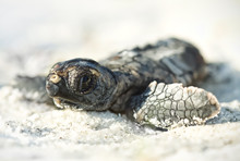 Wild Hatchling Loggerhead Sea Turtle (Caretta Caretta) On Florida Beach