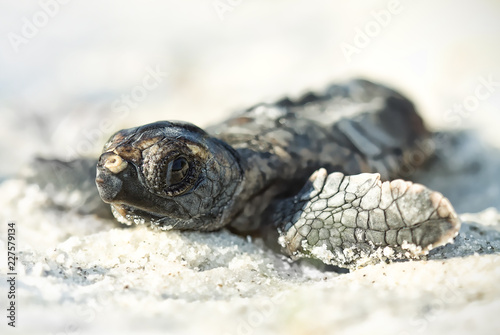 Fototapeta Wild hatchling loggerhead sea turtle (Caretta caretta) on Florida beach
