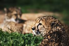 Closeup Of A Cheetah