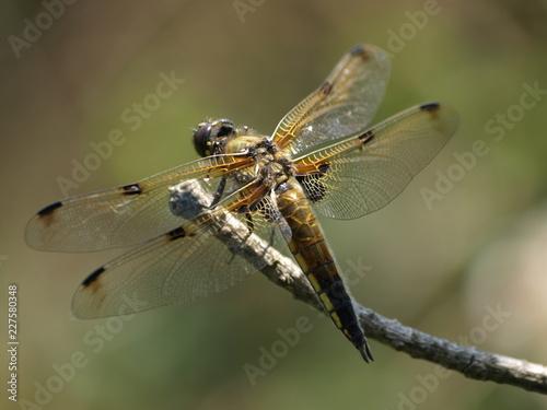 4 Fleck-Libelle