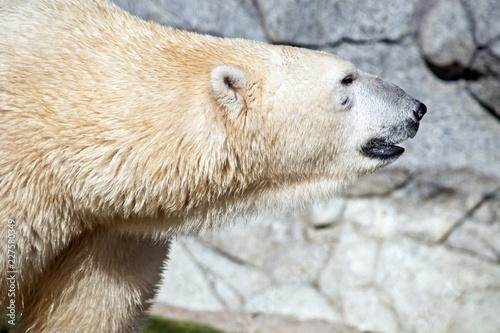 Foto op Plexiglas Ijsbeer polar bear