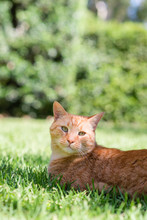 Ginger Cat On Lawn