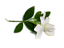 Gardenia Jasminoides Or Cape J...
