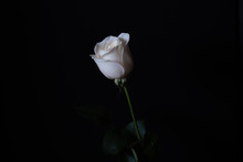 Single White Rose Against A Black Background.