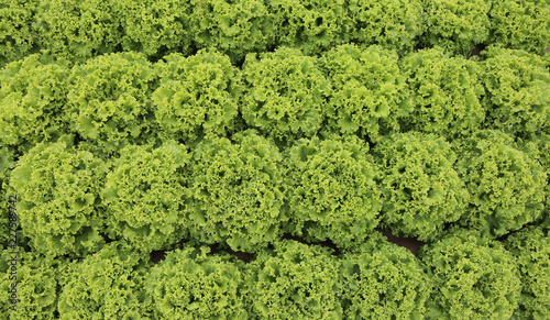 background of lush green lettuce in cultivated field Canvas Print