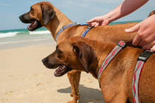 A Man Restraining His Two Dogs At The Beach