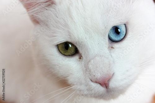 afa505491e Turkish angora closeup - Buy this stock photo and explore similar ...