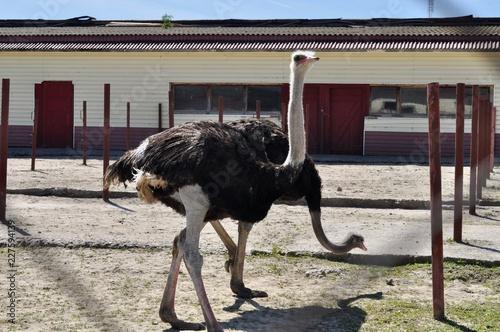 Foto op Plexiglas Struisvogel ostrich in the zoo