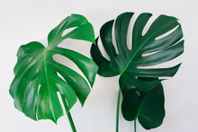 Leaves Of Monstera Deliciosa Plant Against A White Wall - Horizontal