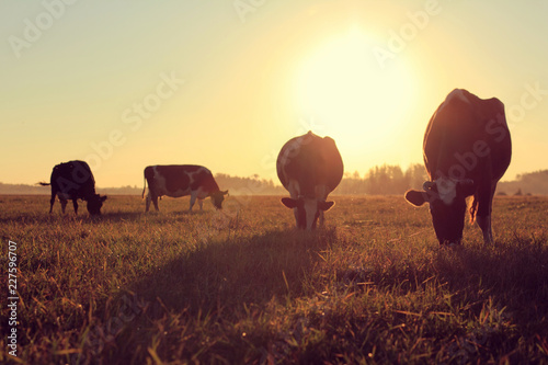 Ingelijste posters Koe landscape with cows/ silhouettes of dairy pair-hoofed animals in a meadow with lush grass against the backdrop of the dawn of a sun