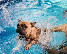 A Terrified French Bulldog Swimming In A Pool
