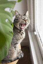Tabby Cat Looking Fierce / Yawning By Window And Plant