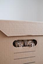 A Cat Plays Hide And Seek In A Cardboard Box