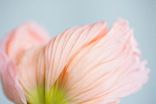 Close Up Image Of Pink Poppy Petals