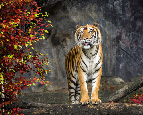 Spoed Foto op Canvas Tijger Tiger standing in the nature of the forest.