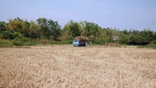 Farmers Loading Bundles Of Straw From Rice Field Into A Pickup Truck