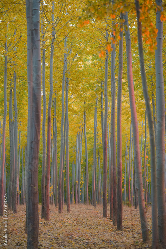 grove of identical poplar trees in the fall with vibrant colors