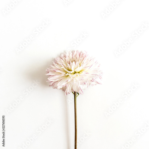 Poster de jardin Dahlia One dahlia flower on white background. Flat lay, top view.