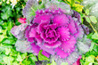 Top view of decorative purple cabbage or kale.