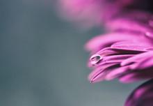 Water Drop On Purple Petals