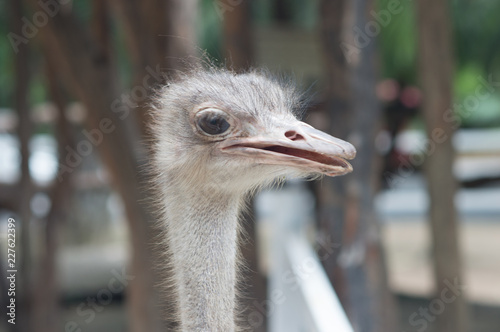 Portrait of a Ostrich, close up, summer sunny day, vertical. Thailand zoo.
