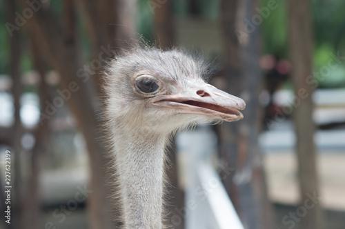 Foto op Plexiglas Struisvogel Portrait of a Ostrich, close up, summer sunny day, vertical. Thailand zoo.