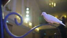 Trained White Dove Sitting On ...
