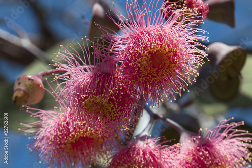 Poster Bordeaux Bluff Knoll Australia, looking up into flowers of