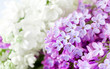 White and purple liliac